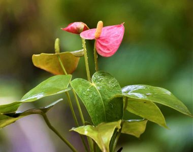 Buy Anthurium Online in India