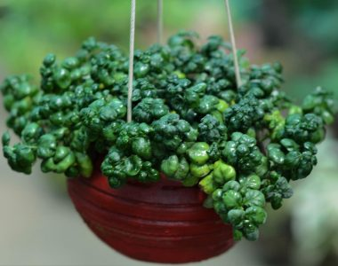 Buy Bubble Plant Online in India