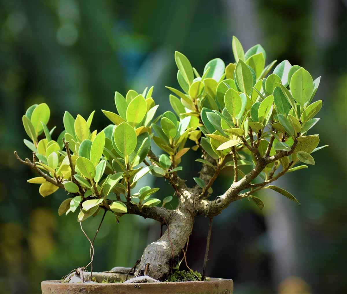 Chinese Bonsai Banyan Tree Nestreeo Com