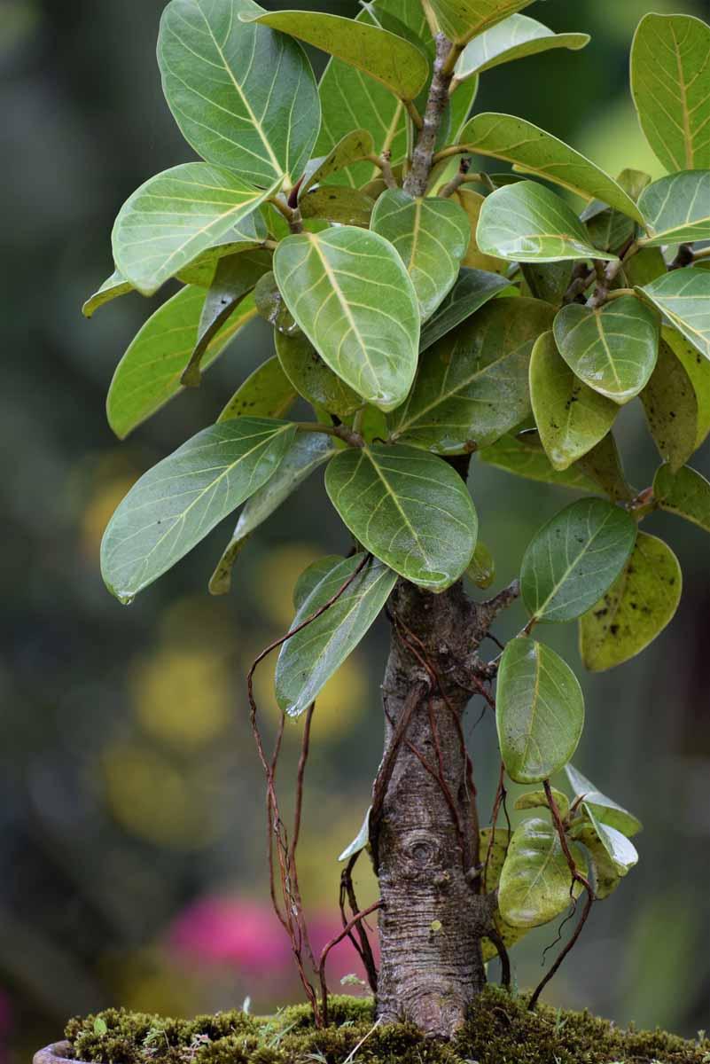 Ficus Benghalensis Indian Banyan Tree Bonsai Plant Nestreeo Com