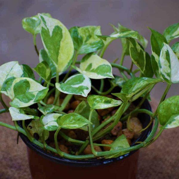 Buy Money Plant Online At Lowest Price | Nestreeo.com