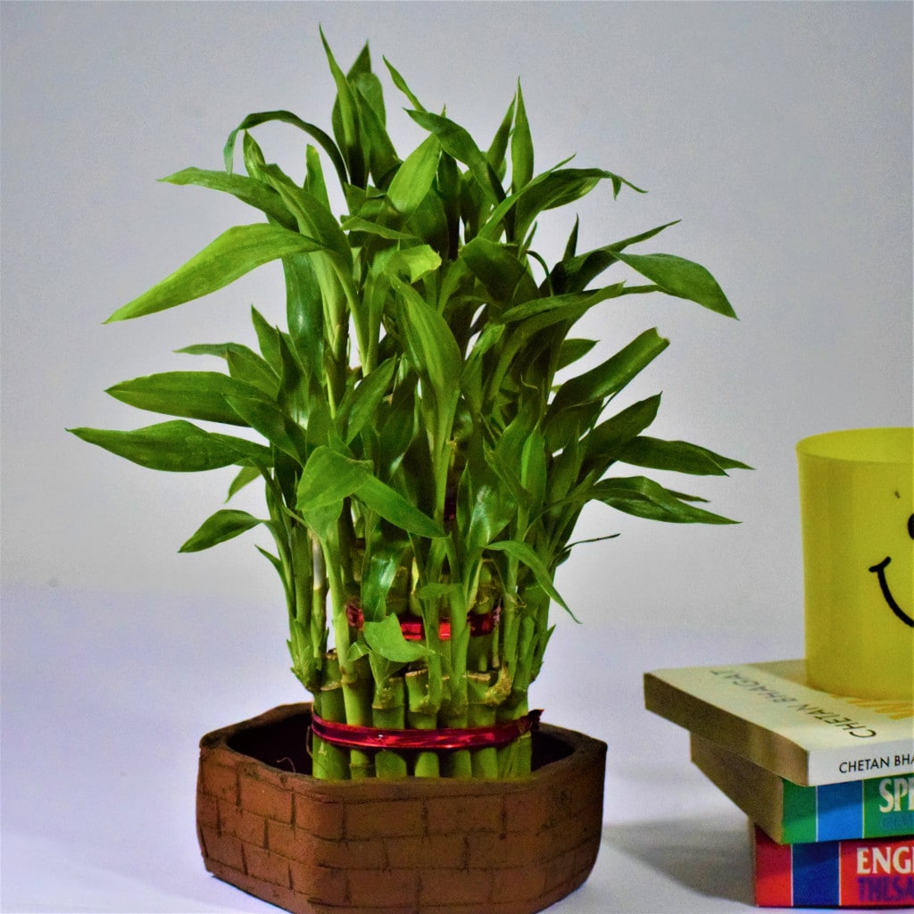 2 Layer Lucky Bamboo Plant With Brick Design Terracotta Planter
