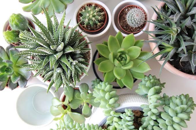 Buy Succulent Online in India