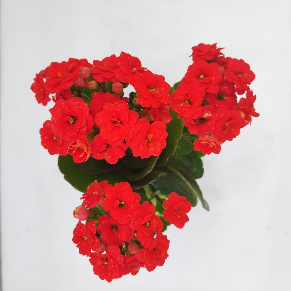 Calanchchu Red Kalanchoe Plant Buy Plants Handicrafts Online