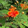 Caesalpinia Pulcherrima, Peacock Flower, Red Bird Of Paradise , Krishnachura Plant